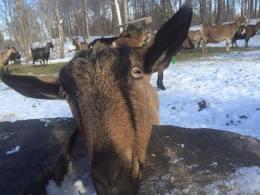 Goat at Twig Farm