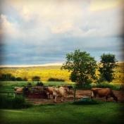 animal farm cows grazing