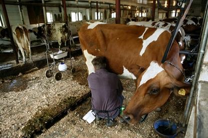 jasper hill Cows1_DennisCurranSM
