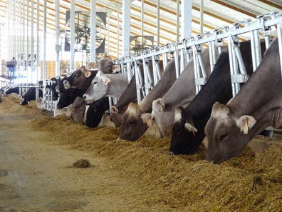 Marieke Gouda Cows Eating