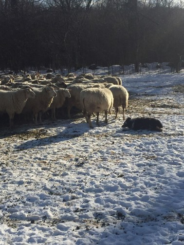 vermont shepherd - border collie with sheep