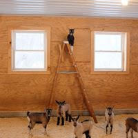 goat on ladder