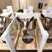 goats lined up for milking
