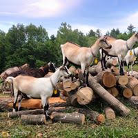 goats on log pile