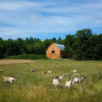 goats outside with barn